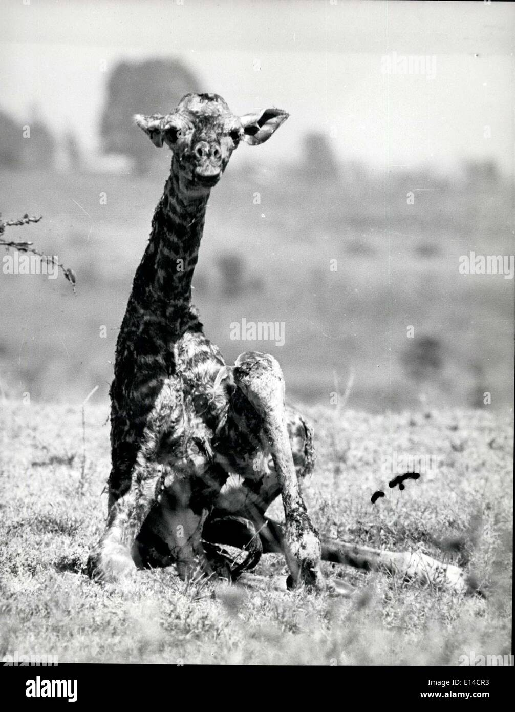 Apr. 17, 2012 - New Born giraffe tries to stand for the fist time.UM - Stock Image
