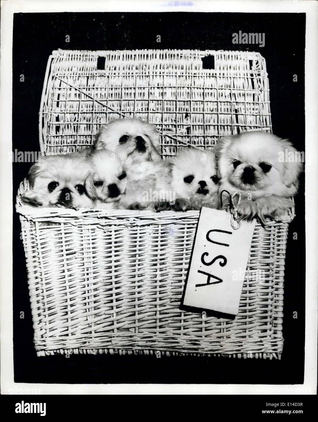 Apr. 17, 2012 - Emigrants ; White Pekingese from the well-known kennels of Mrs. R. Waring at Cobham, Surrey, England regularly make the Atlantic crossing. Picture shows Five white Pekingese take a last peek at London before leaving by air new lives in the U.S. - Stock Image