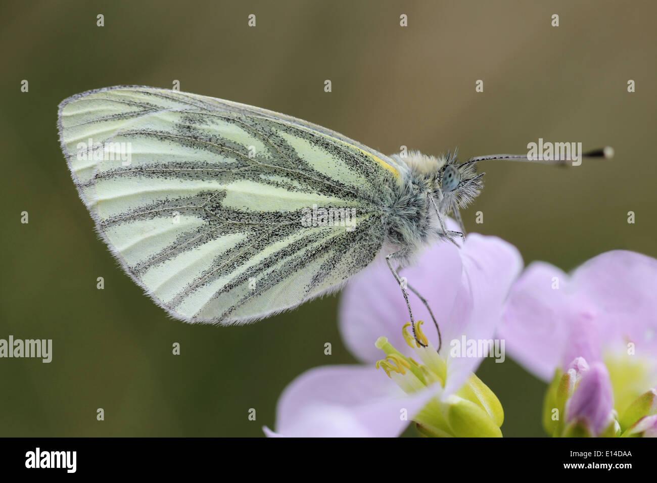 Green-veined White Pieris napi Feeding On Lady's Smock Cardamine pratensis - Stock Image