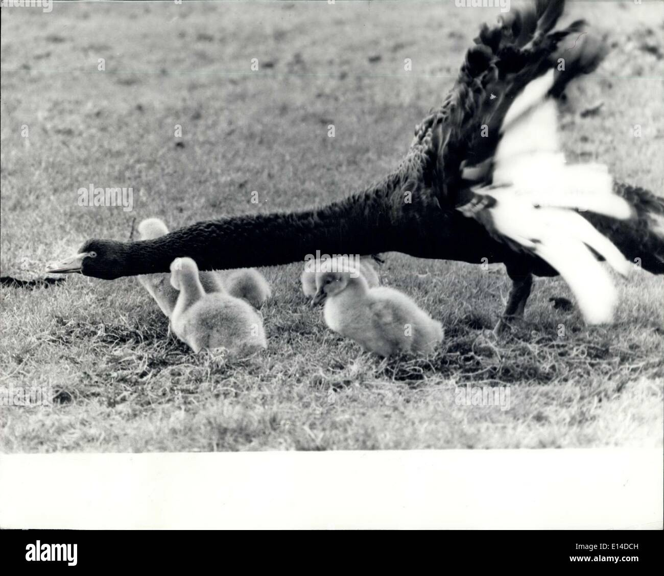 Apr. 17, 2012 - Just Like The Concorde: This Black Swan was out in the park with her family of young Cygnets when an approaching photographer came to close to her young s she took up his protective pose which makes it look like the Concorde's taking off. - Stock Image
