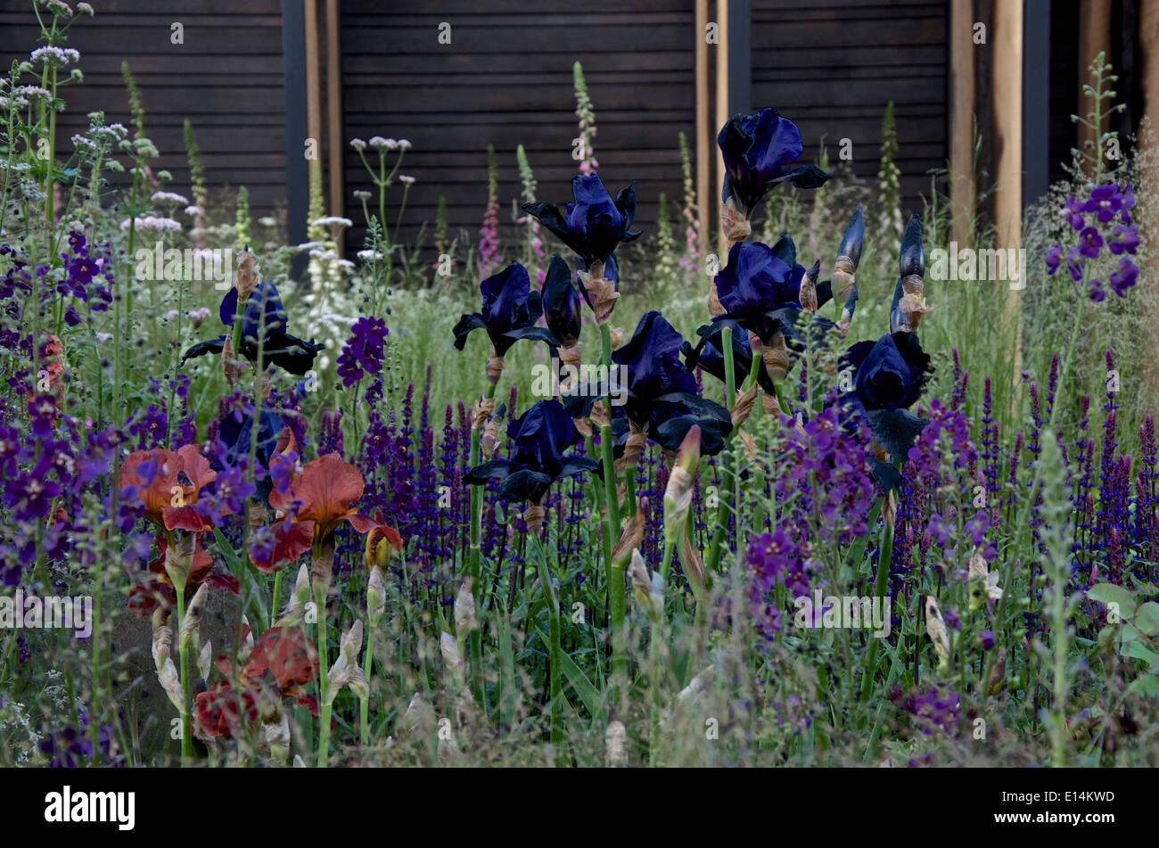 Iris 'Black Swan' in the Cloudy Bay Sensory garden at RHS Chelsea Flower Show 2014 Stock Photo