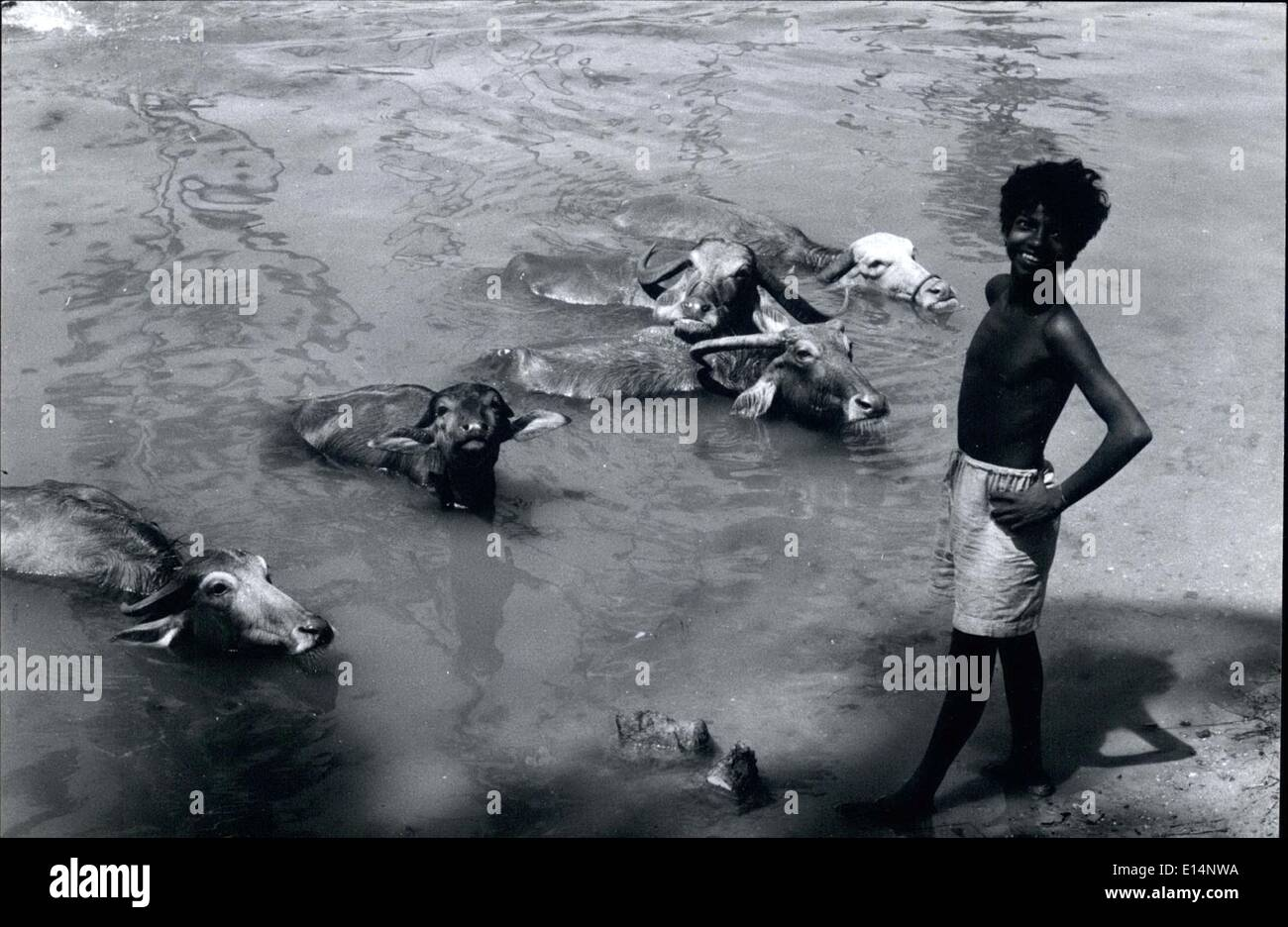 Apr. 18, 2012 - A water-buffalo tender looks after his charges in a canal at Trivandrum, India. - Stock Image