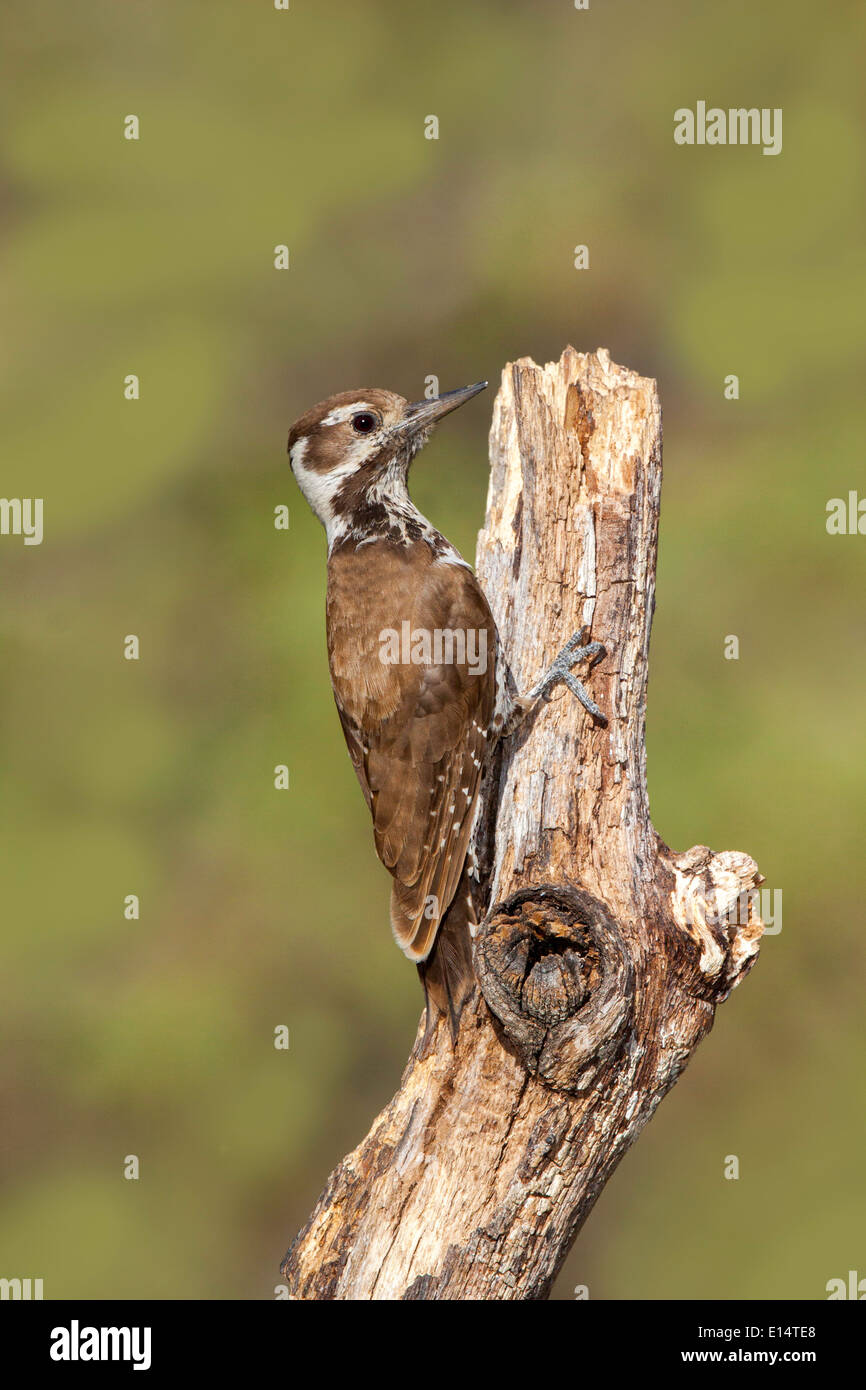 Arizona Woodpecker Picoides arizonae Madera Canyon, Santa Cruz County, Arizona, United States 17 May Adult Female - Stock Image