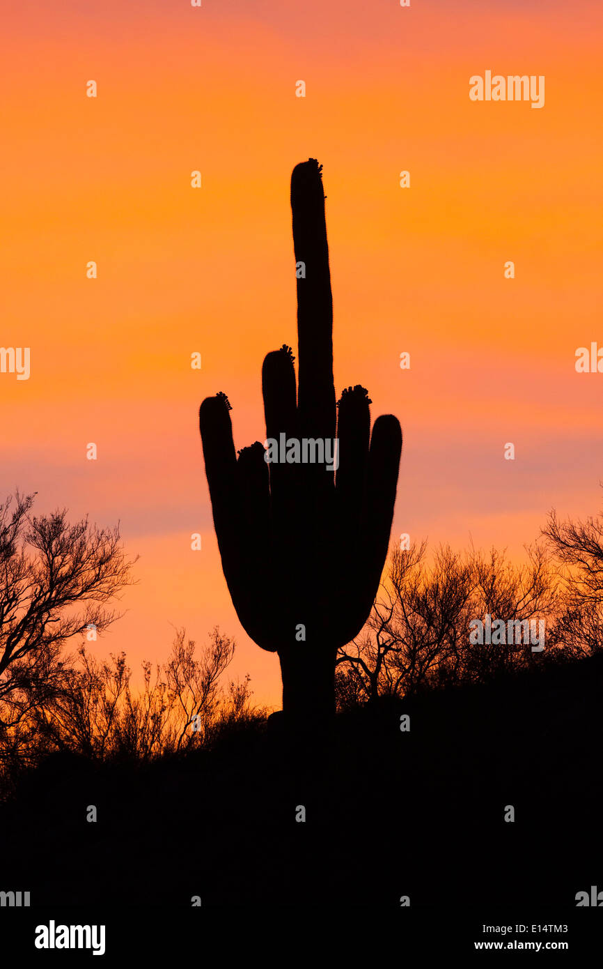 Saguaro Cactus (Carnegiea gigantea) silhouette at sunset, Tucson, Arizona, United States. - Stock Image