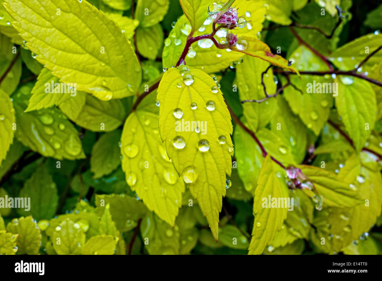 Sparkling beads of water on the leaves of a Spirea shrub after a shower - Stock Image