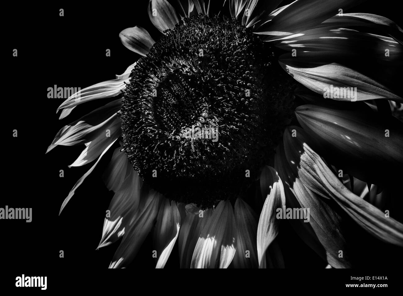Sunflower In Black And White Against Background