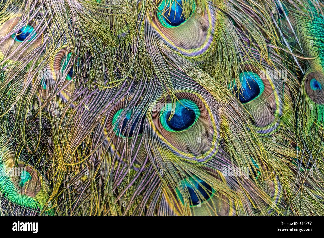 Feathers of a Peacock (Pavo) - Stock Image