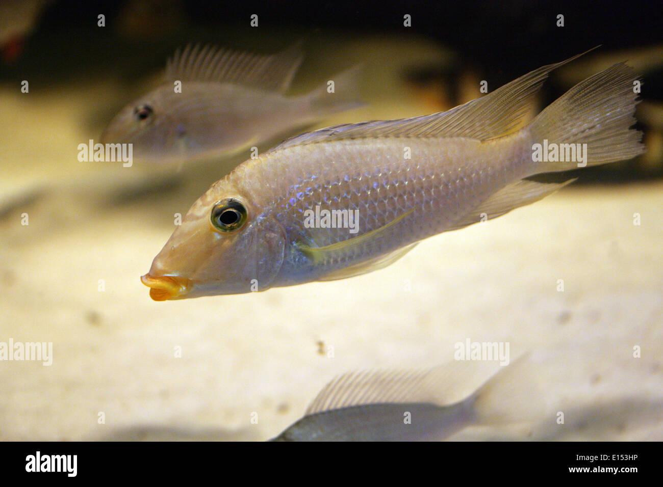 Demon Earth Eater, Satanoperca jurupari, Cichlidae, Perciformes, Actinopterygii, Chordata. Amazon River Basin, South America. - Stock Image