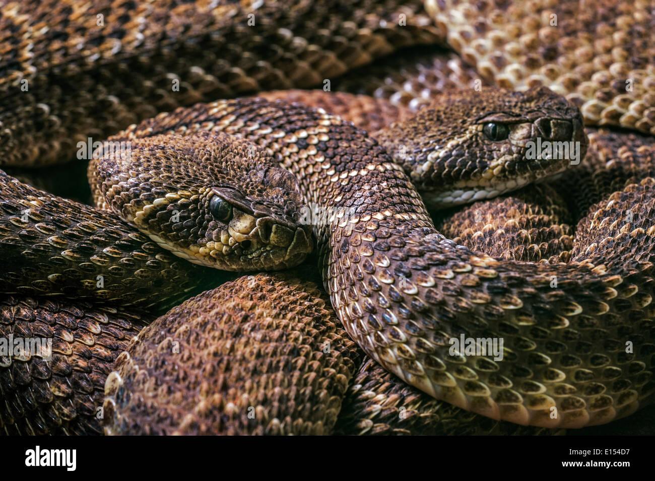 Two Western diamondback rattlesnakes / Texas diamond-back rattlesnake (Crotalus atrox) curled up, United States Stock Photo