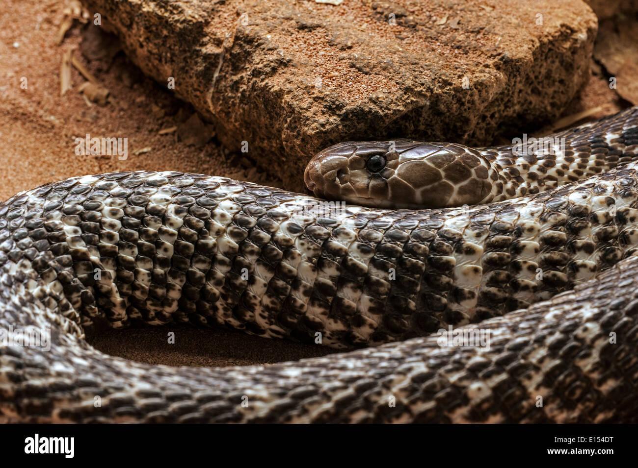 Indian cobra / Spectacled cobra / Asian cobra / Binocellate cobra (Naja naja) curled up, native to India - Stock Image