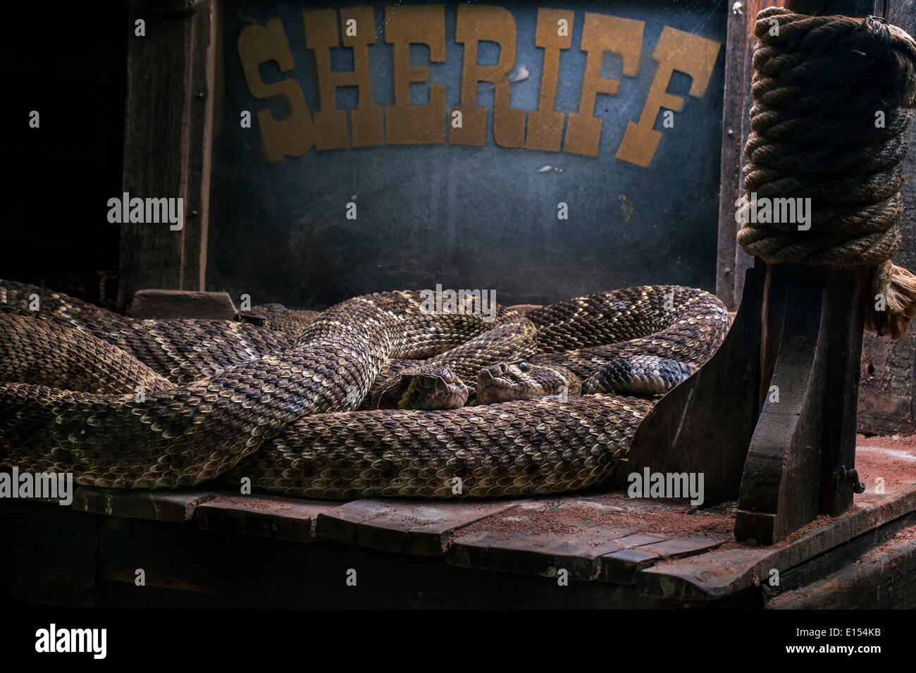 Two Western diamondback rattlesnakes / Texas diamond-back rattlesnake (Crotalus atrox) curled up in old building, Stock Photo