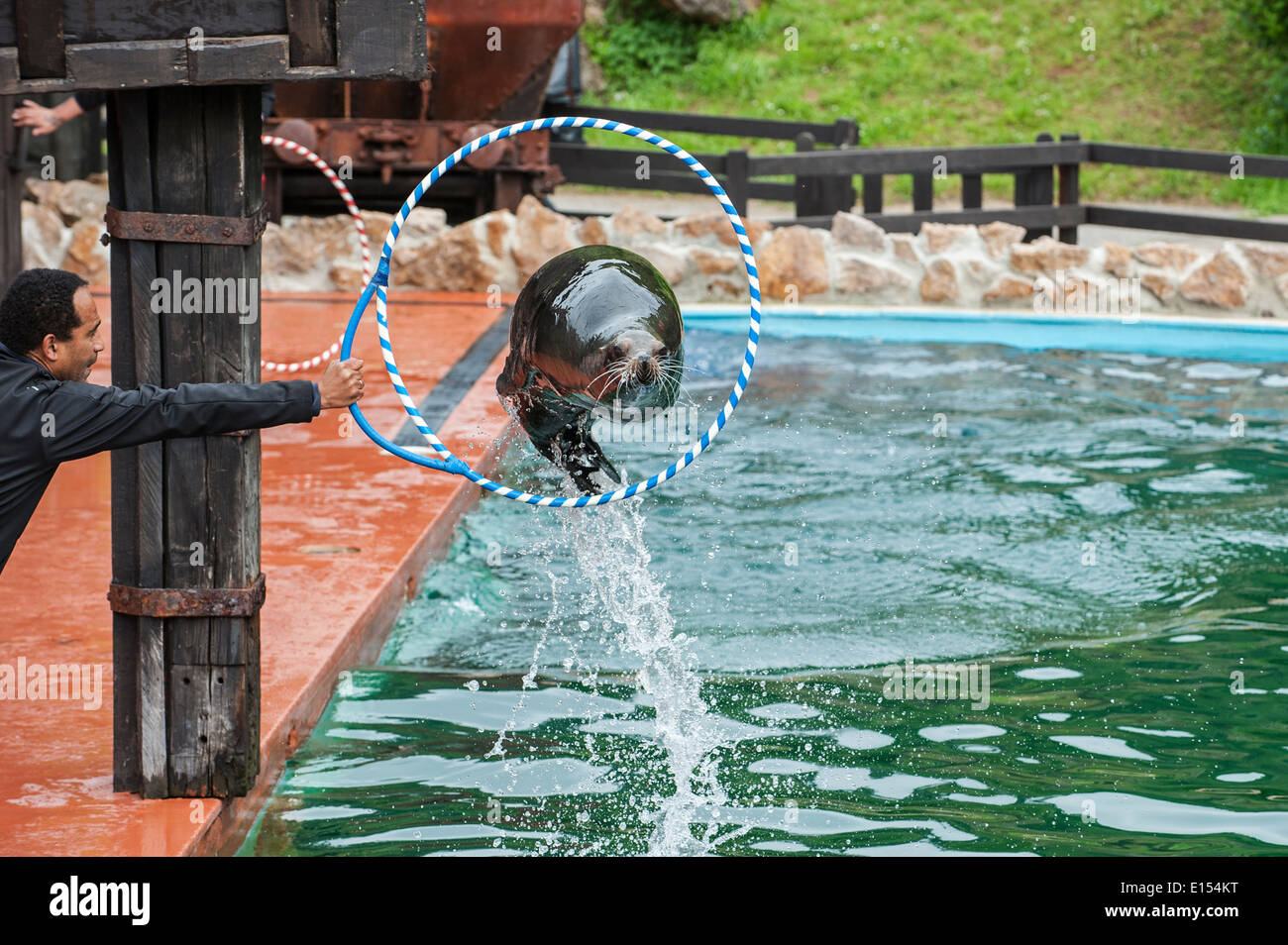 California sea lion jumping through hoop held by trainer during show in the Cabarceno Natural Park, Penagos, Cantabria, Stock Photo