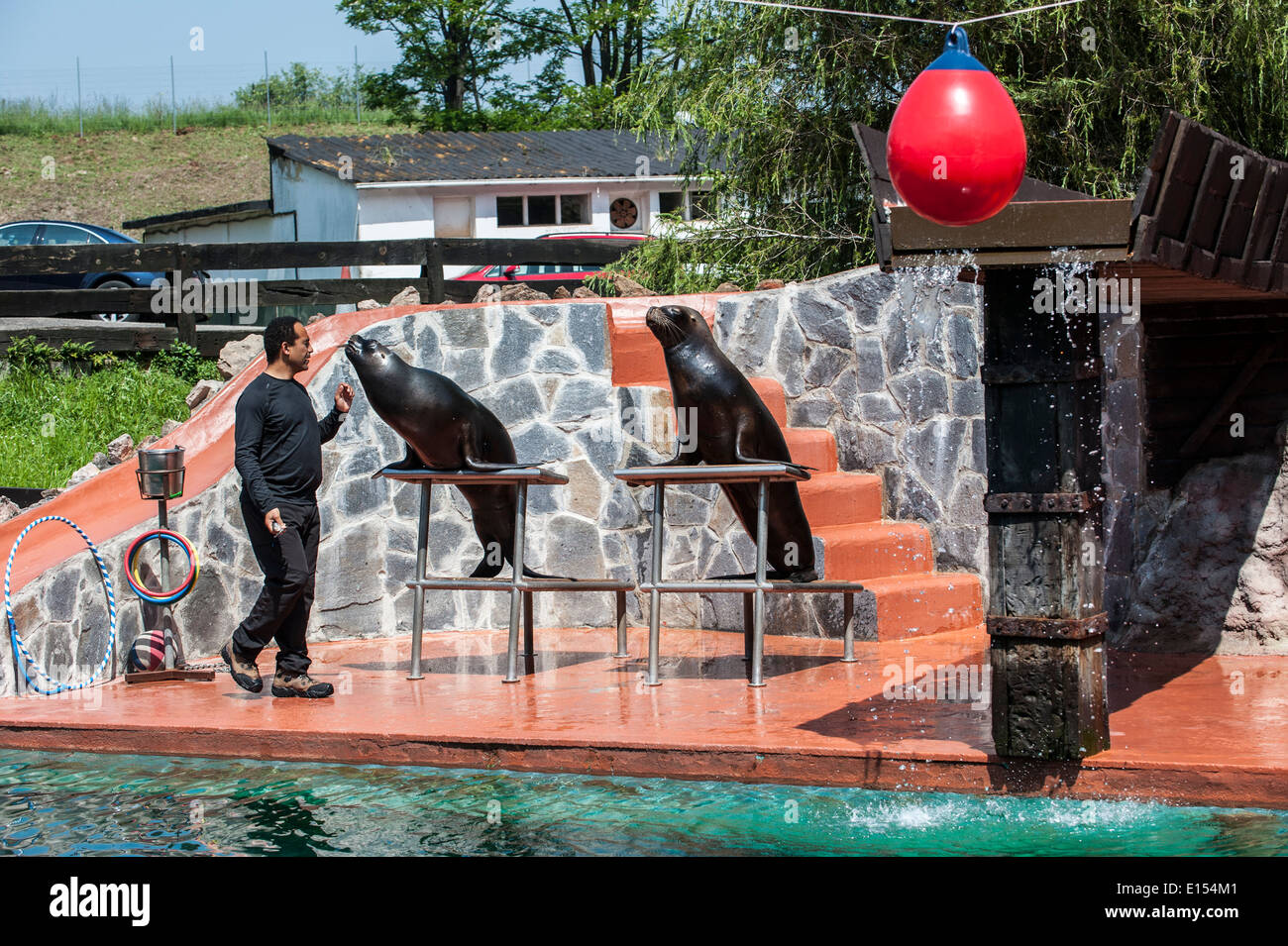 Patagonian sea lions (Otaria flavescens) performing with trainer during show in the Cabarceno Natural Park, Penagos, Stock Photo