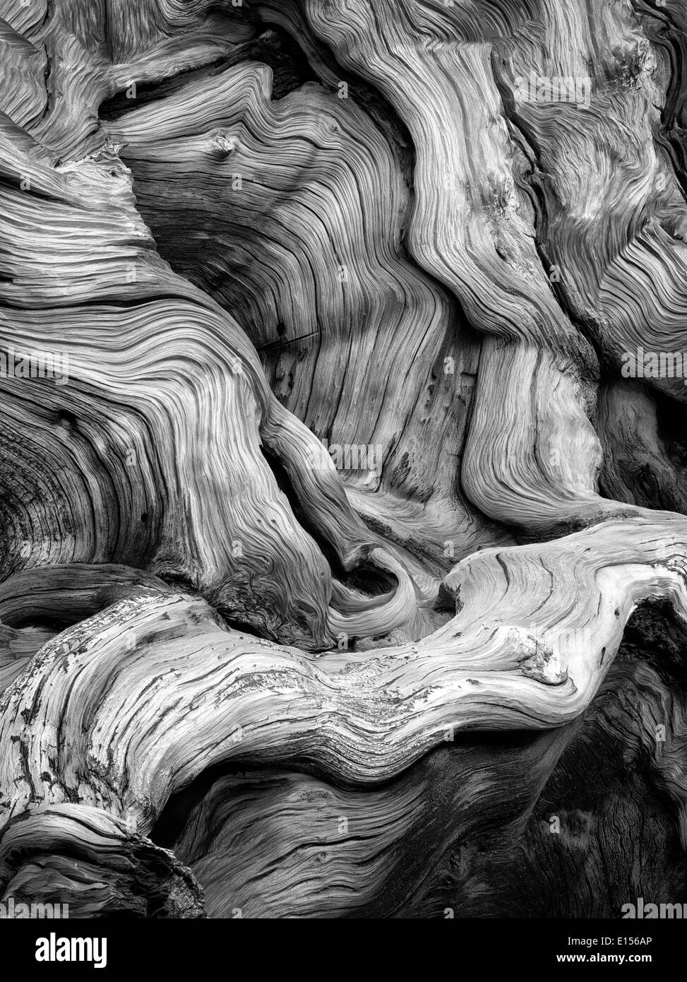 Gnarled exposed roots of Bristlecone Pine Tree. Ancient Bristlecone Pine Forest, Inyo county, California - Stock Image