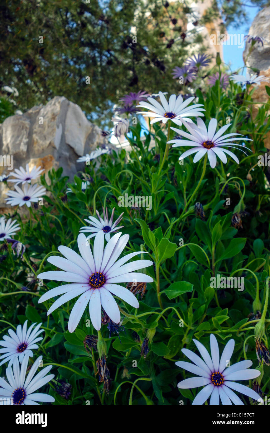 Large daisy like flowers stock photos large daisy like flowers white and purple large daisy like spring flowers stock image izmirmasajfo