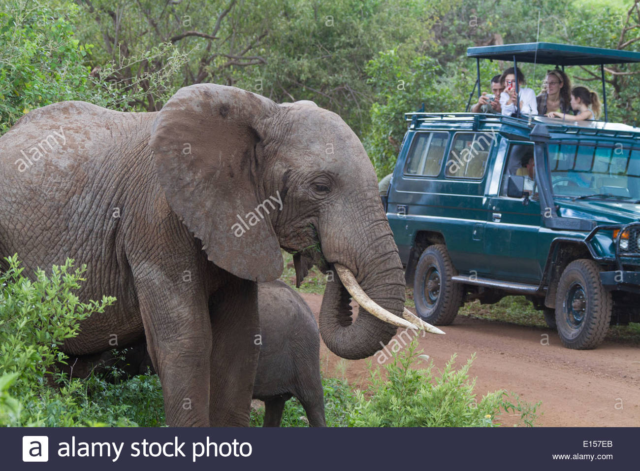 A group of safari tourists looks on and takes photos of a mother African Bush Elephant and her baby in Tanzania. - Stock Image