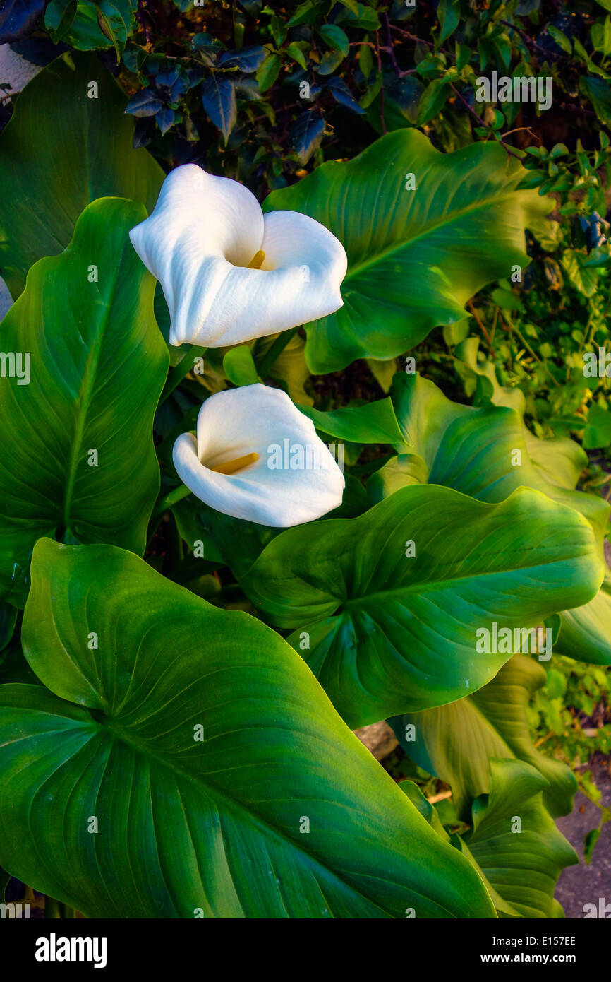 Arum Lilly, Zantedeschia, white flower and green leaves - Stock Image