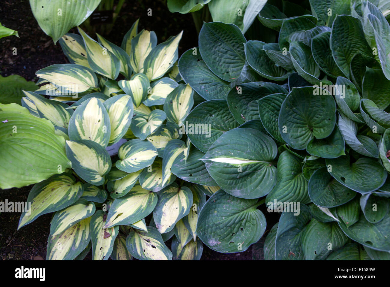 Hosta Plant In Shade Garden Variegated Leaves Stock Photo