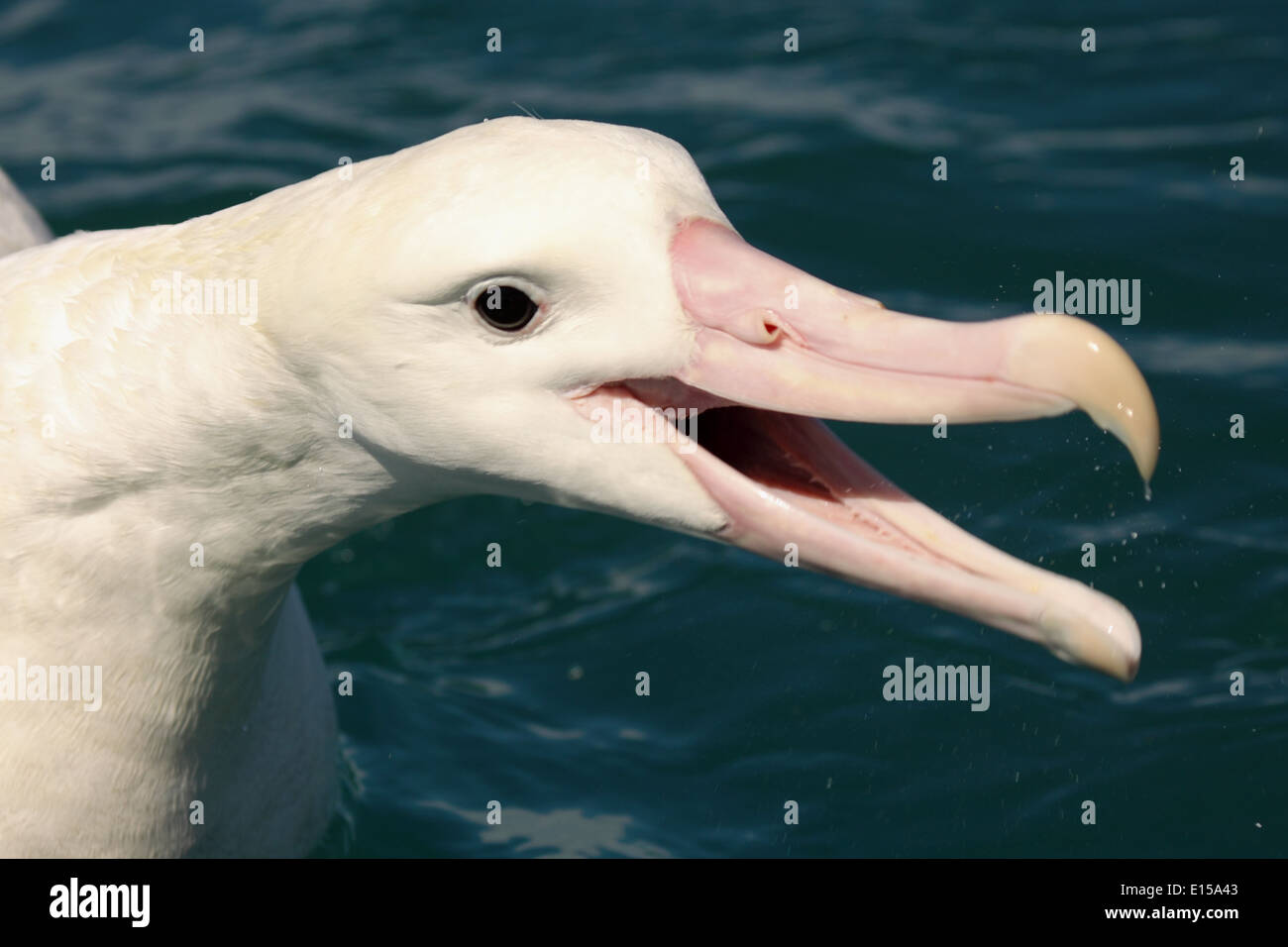 A Wandering Albatross calling loudly. - Stock Image