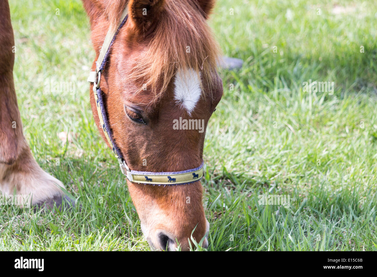 Chestnut sorrel horse grazing on grass wearing halter. Stock Photo