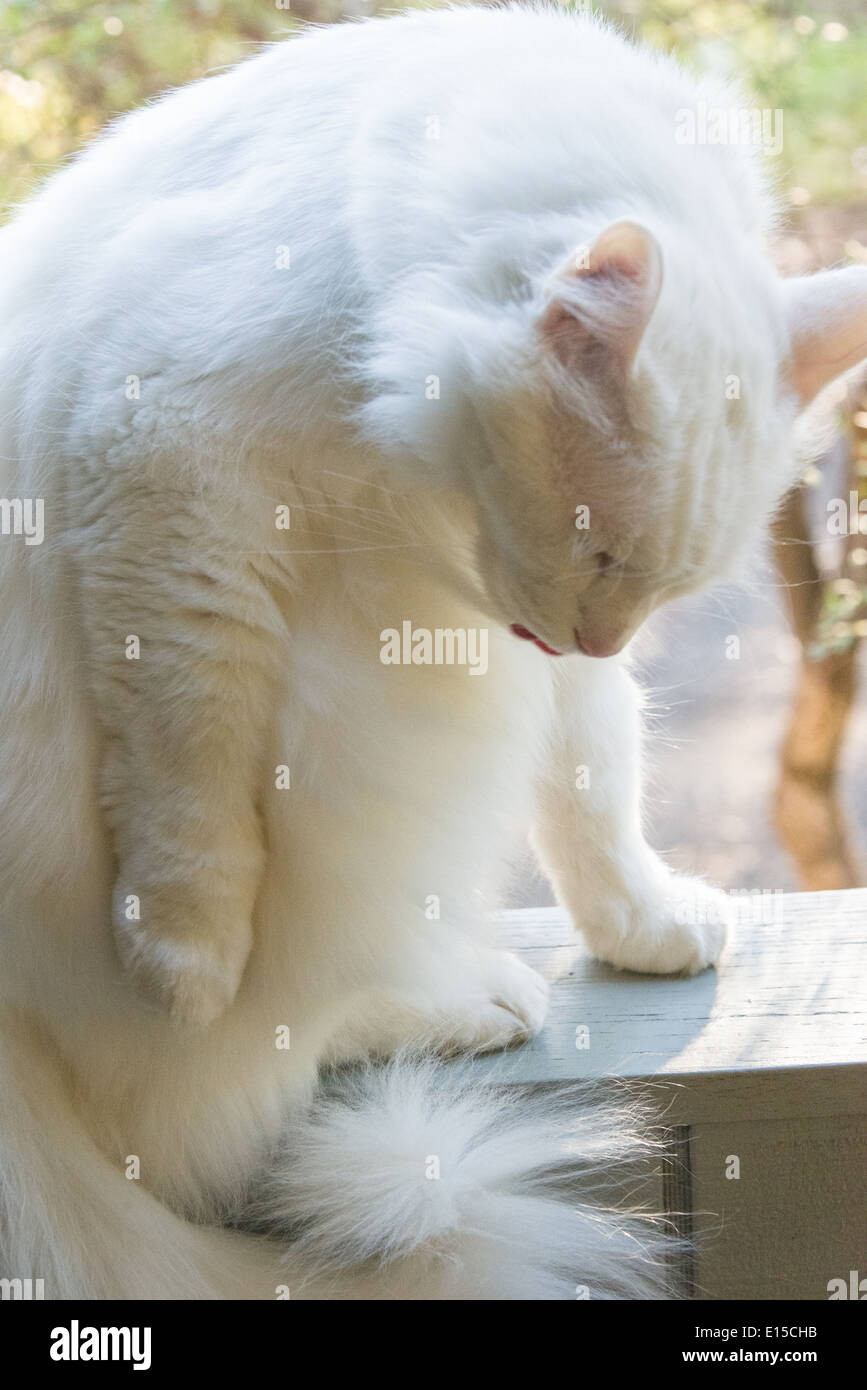9d965f4133 white cat portrait cleaning closeup yawning meowing. Pedigree Turkish Angora  breed