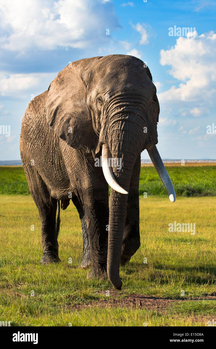 A bull elephant getting dangerously closely to the safari vehicle in Samburu national reserve. - Stock Image