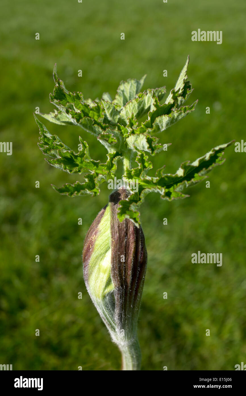 Common Hogweed with unopened seed or flowerhead - Stock Image