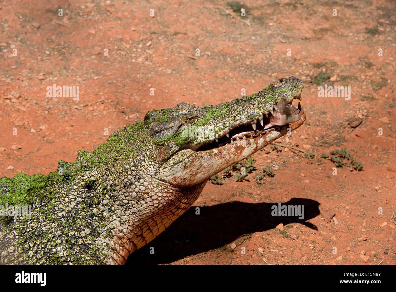 Australia, Western Australia, Broome. Malcolm Douglas Crocodile Park. Saltwater crocodile (Captive: Crocodylus porosus). - Stock Image