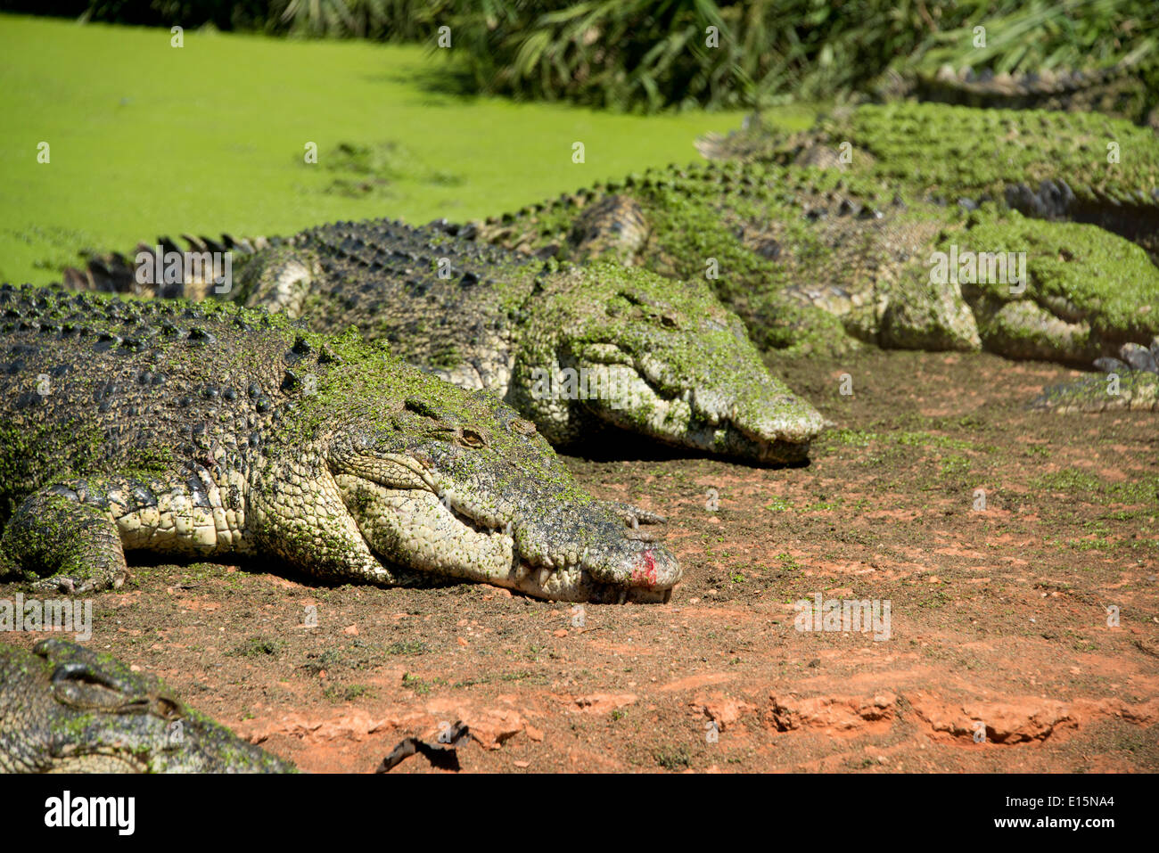 Australia, Western Australia, Broome. Malcolm Douglas Crocodile Park. Saltwater crocodiles (Captive: Crocodylus porosus). - Stock Image