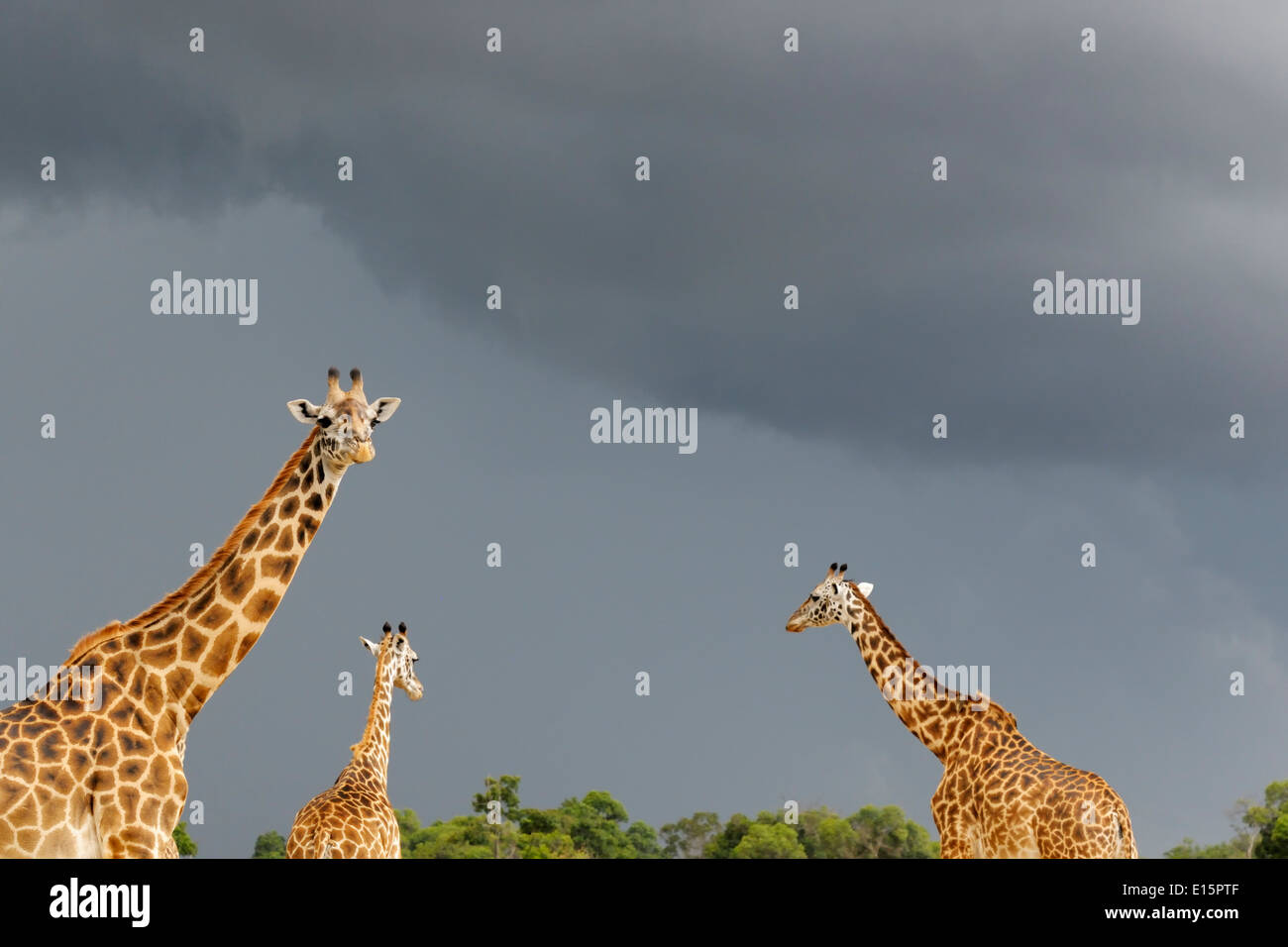 Three Masai Giraffes (Giraffa camelopardalis tippelskirchi) walking with a dark sky in background. - Stock Image