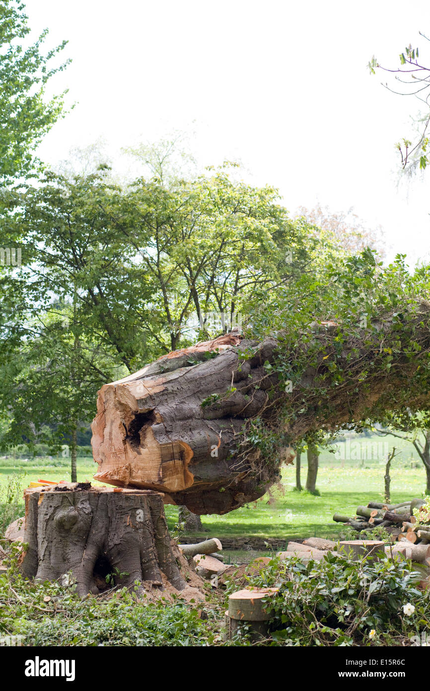 A diseased tree falling after being cut by workmen - Stock Image