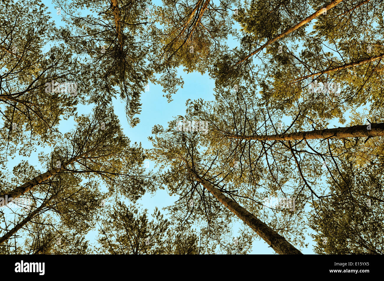 low angle shot of trees against blue sky - Stock Image