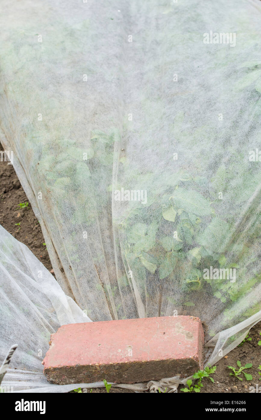 Early potatoes covered with horticultural fleece. - Stock Image
