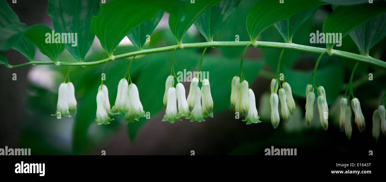 Dainty white flowers (English Bluebells) found in Shakespeare's Garden, Central Park, New York, USA - Stock Image