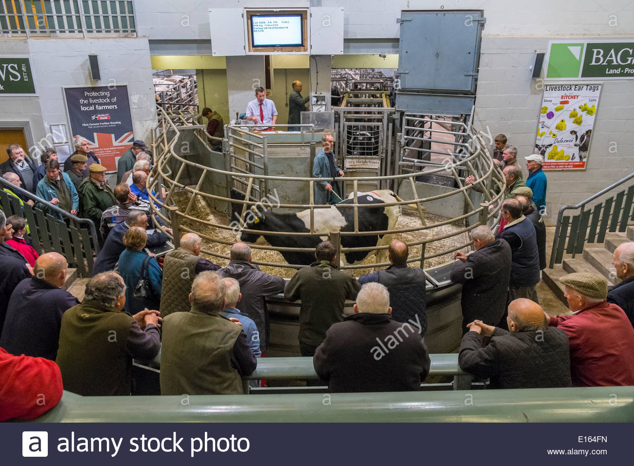 Selling cattle at the prime ring at Bakewell livestock auction, Peak District National Park, Derbyshire, England, May - Stock Image
