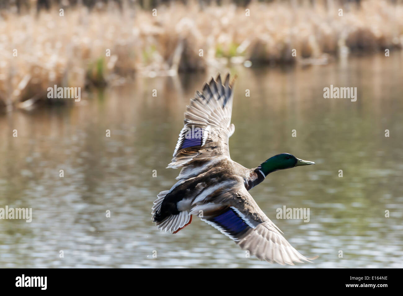 A male Mallard duck flying over a pond - Stock Image
