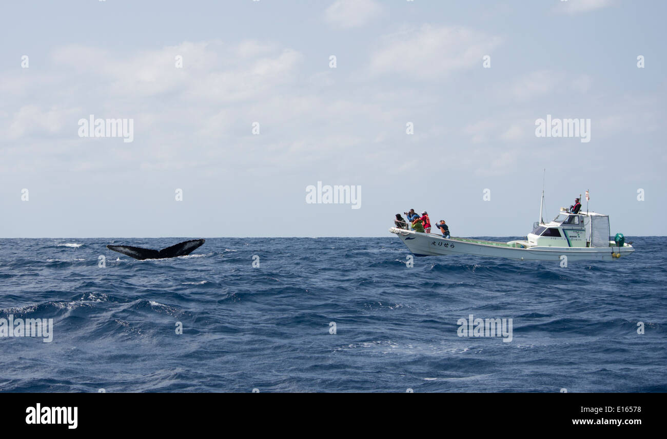 Whale watchers photograph flukes of Humpback whale, Zamami Island. Kerama-shoto National Park, Okinawa, Japan - Stock Image