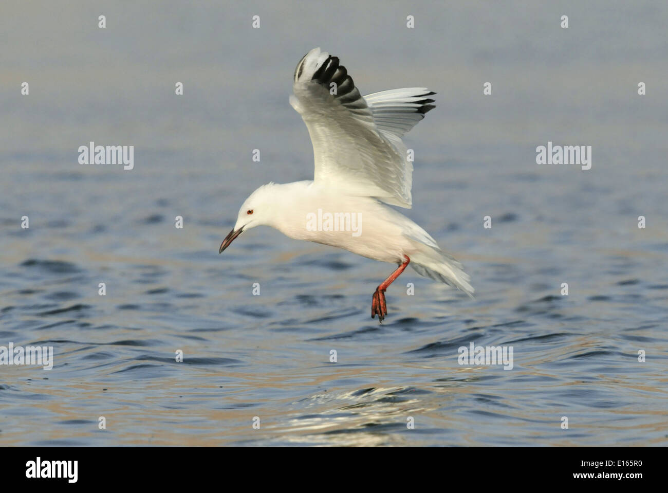 Slender-billed Gull - Larus genei Stock Photo