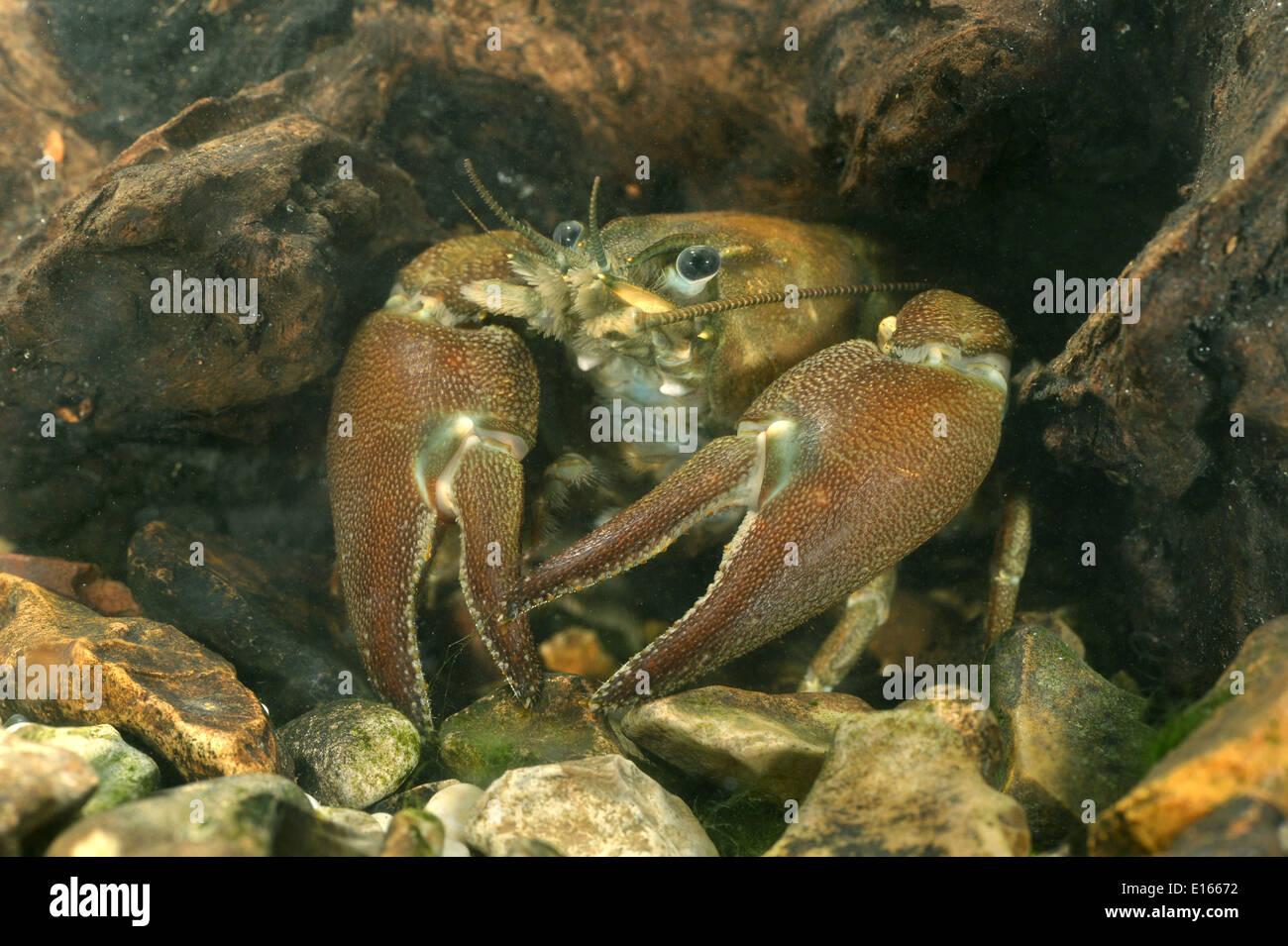 Signal Crayfish - Pacifastacus leniusculus - Stock Image