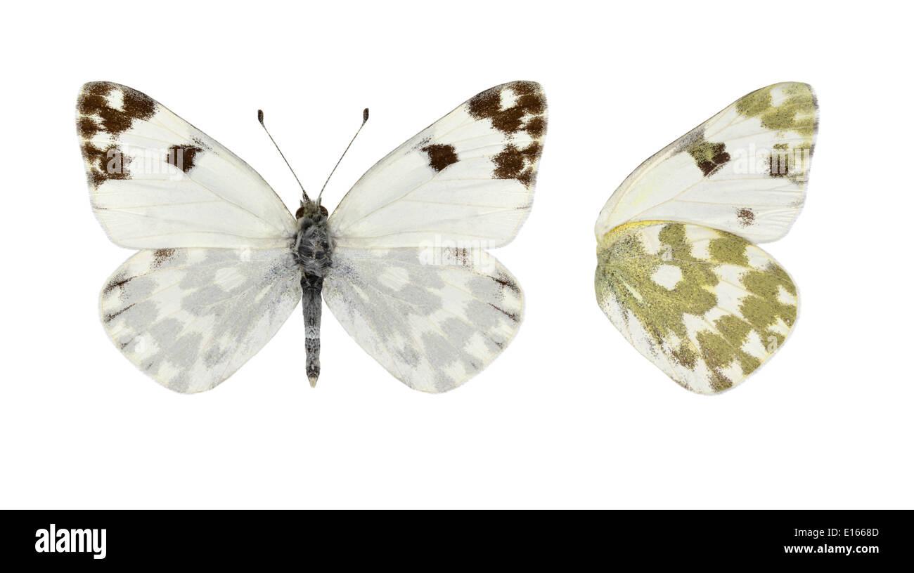 Bath White - Pontia daplidice Stock Photo