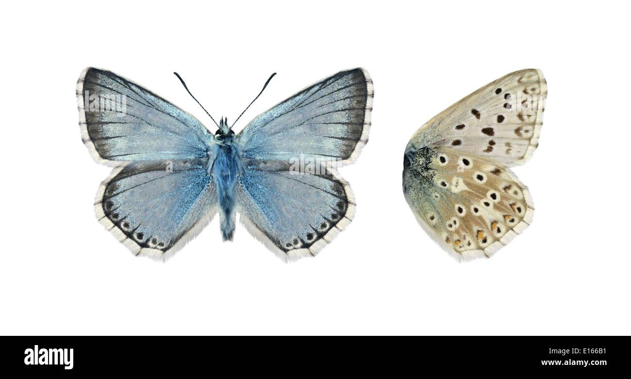 Chalkhill Blue Polyommatus coridon - Male - Stock Image