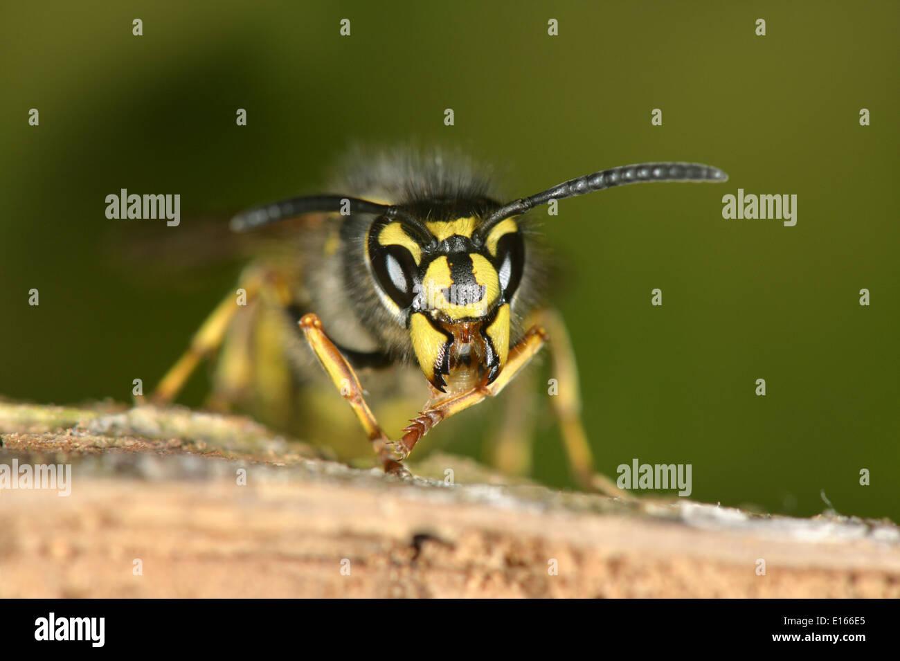Common Wasp - Vespula vulgaris - Stock Image