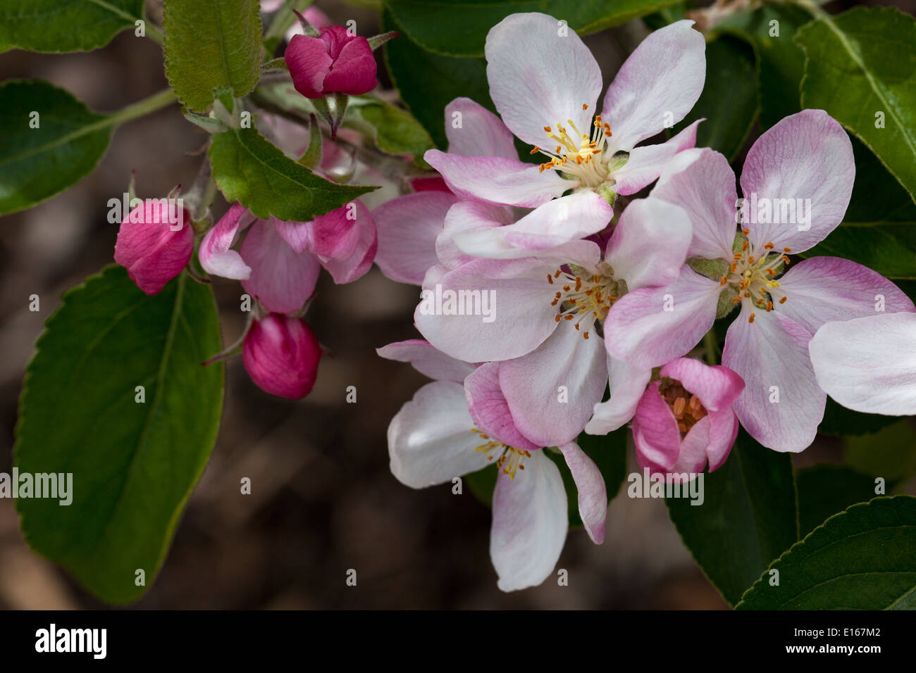 Herefordshire Russet Apple Blossom Close up - Stock Image