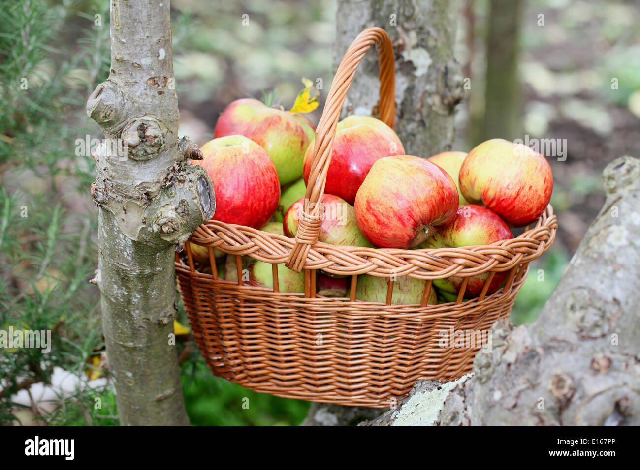Crisp and juicy apples freshly harvested in a wicker basket - Stock Image