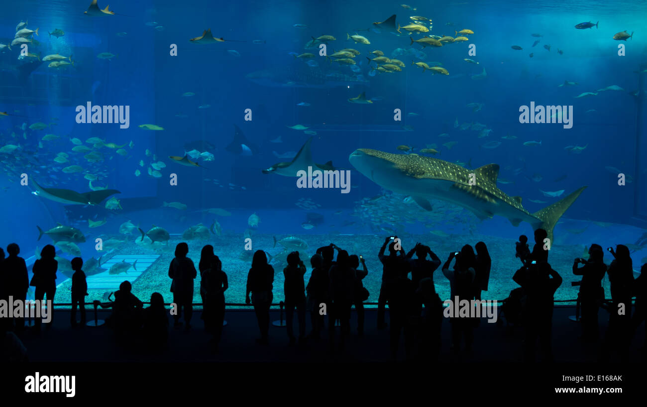 A whale shark swims past visitors viewing the main tank of the Churaumi Aquarium, Okinawa, Japan - Stock Image