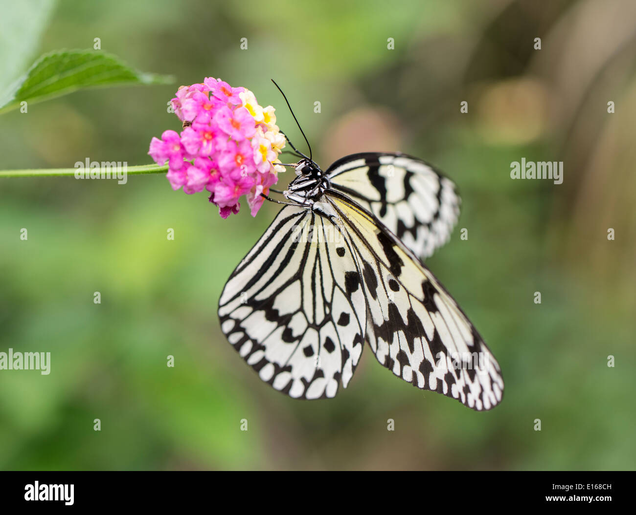 Idea leuconoe - The Paper Kite, Rice Paper, or Large Tree Nymph butterfly , Aka Island, Kerama Islands, Okinawa, Japan - Stock Image