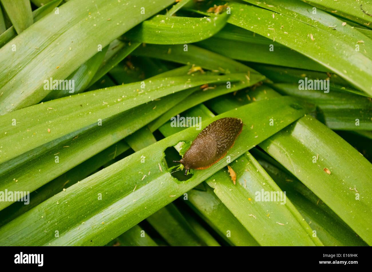 Chocolate slug, Arion rufus, aka Licorice slug or black slug eating green leaves in the garden.  Garden pest that damages foliage. - Stock Image