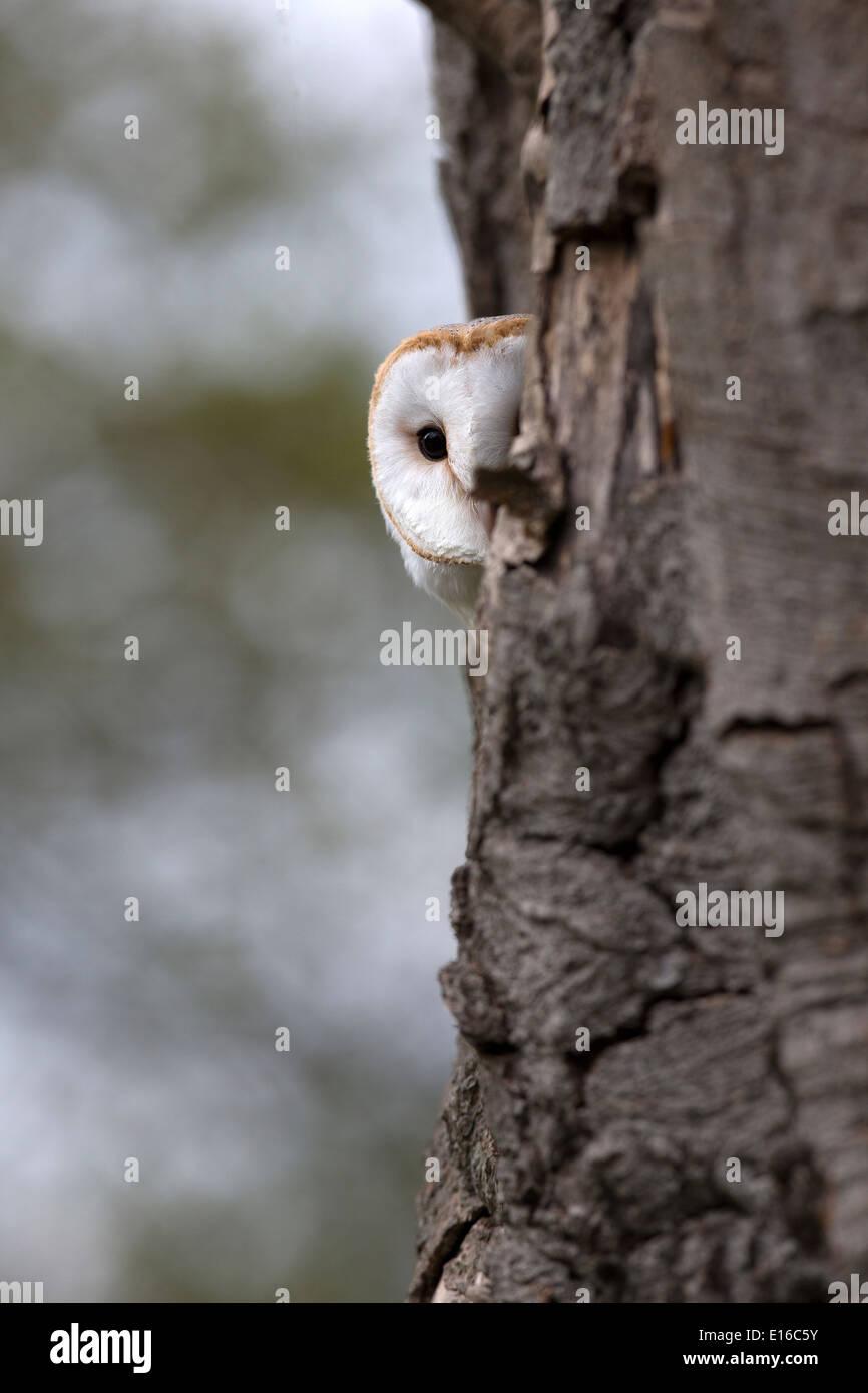 Barn Owl, Tyto alba in a tree - Stock Image