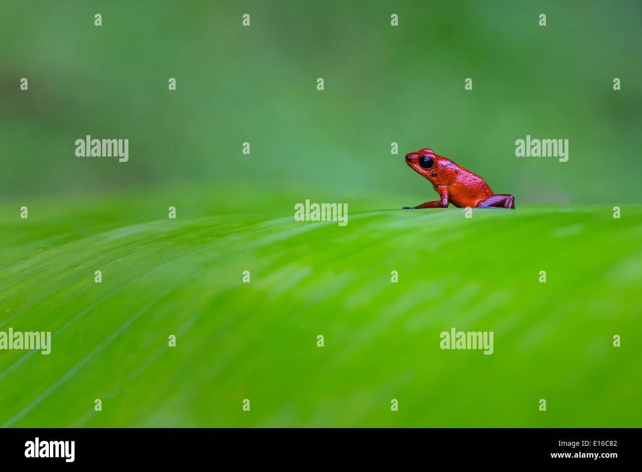 Strawberry Poison Dart Frog - Stock Image