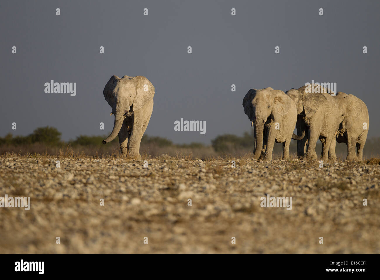 Elephants in Namibia Stock Photo